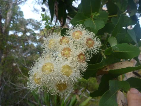 Angophora hispida – Dwarf Apple Gum | Gardening With Angus