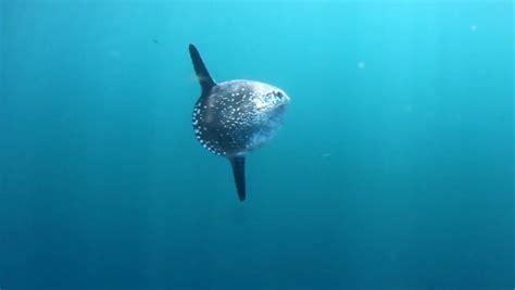 scientists identify  species  ocean sunfish