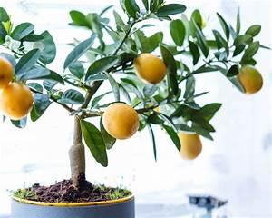 Dünger Für Zitronenbaum : zitronenbaum berwintern standort pflege plantura ~ Watch28wear.com Haus und Dekorationen
