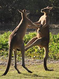 Related Keywords & Suggestions for kangaroo fight