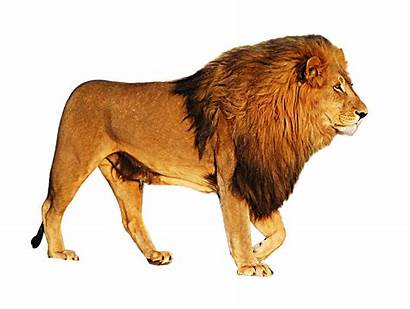 Lion Walking Transparent Background Freeiconspng Resolution
