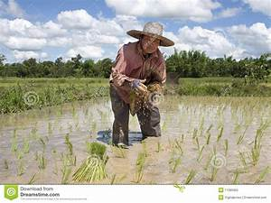 Asian Woman Works On The Rice Field Royalty Free Stock ...