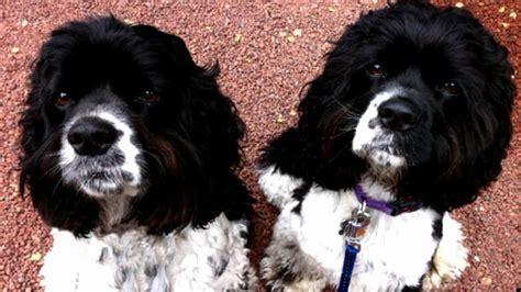 oprah sunny lauren dogs spaniels springer she huffpost anymore