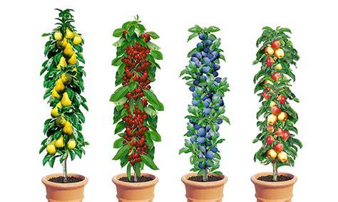 pflanzen saeulenobst   cm groupon