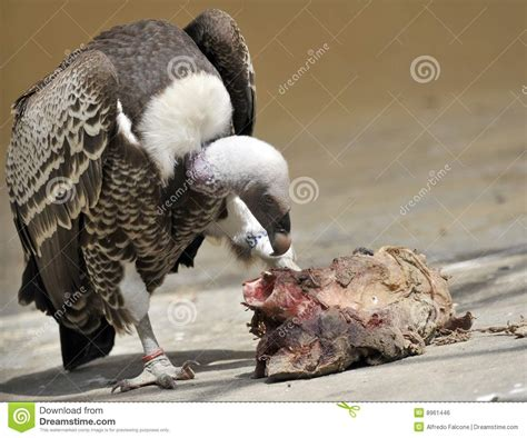 vulture eating meat stock photo image  detail wings