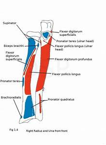 Muscles Of Forearm Origin And Insertion