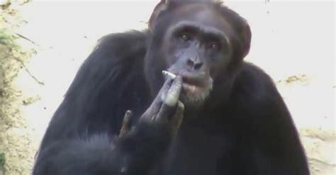 azalea la scimpanze che fuma  lidolo dello zoo supereva