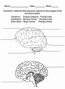 4 Human Brain Diagram Quiz   Biological Science Picture