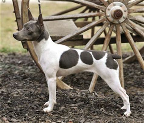 rat terrier sheds much rat terrier breed plus