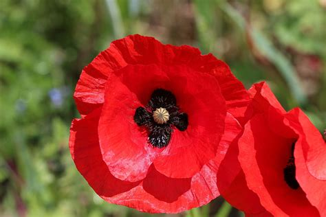 memorial poppy flower top 28 memorial poppy flower remembrance bailey gwynne and poppies remembrance day poppy