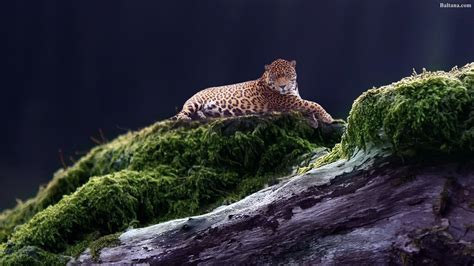 Jaguar Backgrounds by Jaguar Wallpapers Hd Backgrounds Images Pics Photos