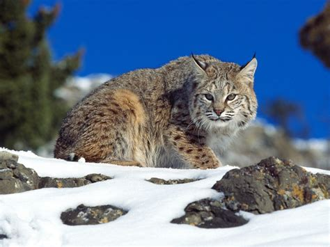 Bobcats  Wildlife Amazing Facts & Photos  The Wildlife