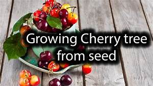 How To Grow Cherries From Seeds