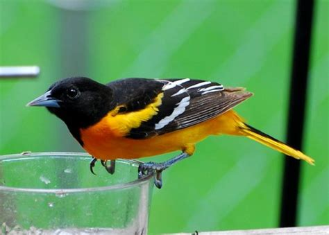 oriole bird caller mp3 download animals