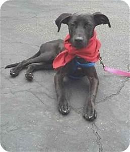 KAIA | Adopted Puppy | Los Angeles, CA | Italian Greyhound ...