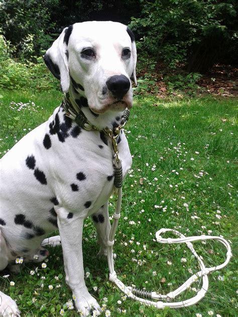 hundehalsband extra breit luxus fuer hunde der blog