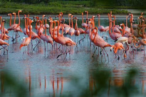 how do flamingos get their pink color flamingos causes of color