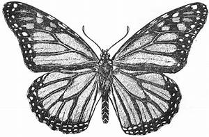 Monarch Butterfly Drawing - Cliparts.co