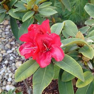 Rhododendron Eingerollte Blätter : rhododendron pflegetipps schneiden pflanzen krankheiten ~ Markanthonyermac.com Haus und Dekorationen