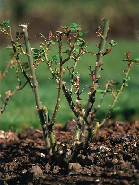 how to trim bushes in the how to prune rose bushes pruning roses hgtv