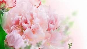 Carnations Wallpapers – WeNeedFun