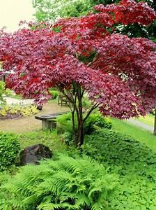 Pflanzen Japanischer Garten : japanischer f cherahorn acer palmatum garten wissen ~ Lizthompson.info Haus und Dekorationen