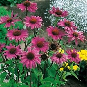 Sonnenhut Pflanze Kaufen : roter sonnenhut von g rtner p tschke auf kaufen ~ Buech-reservation.com Haus und Dekorationen