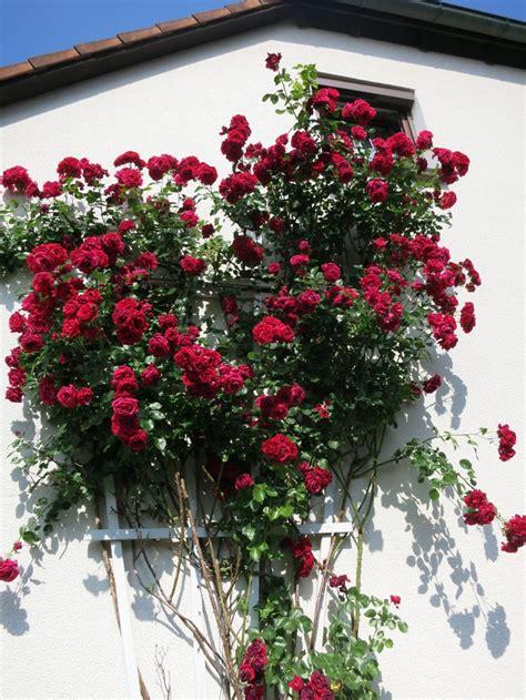 kletterrose paul scarlet kletterrose paul s scarlet climber rosa paul s scarlet climber baumschule horstmann