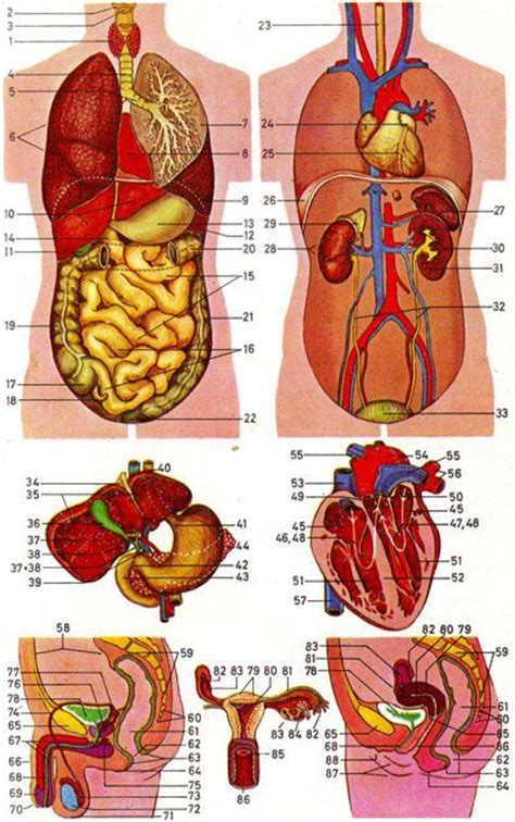human internal anatomy human body anatomy basic anatomy