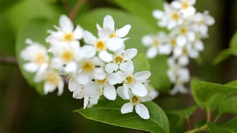 early blooming white flower tree blooming apple tree in early spring stock footage video 2249788 shutterstock