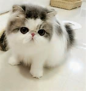 cutest cat breeds can dogs and cats breed breeds