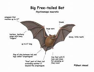 Bat  Big Free