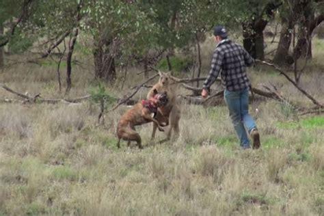 Man Punches Kangaroo To Save His Dog In Viral Video Travel News Travel Uk