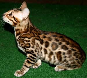cat hybrids mokave jag cats grow up to 28 pounds friendly
