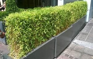 Bac Rectangulaire Pour Bambou : haie bambou en jardiniere pivoine etc ~ Nature-et-papiers.com Idées de Décoration