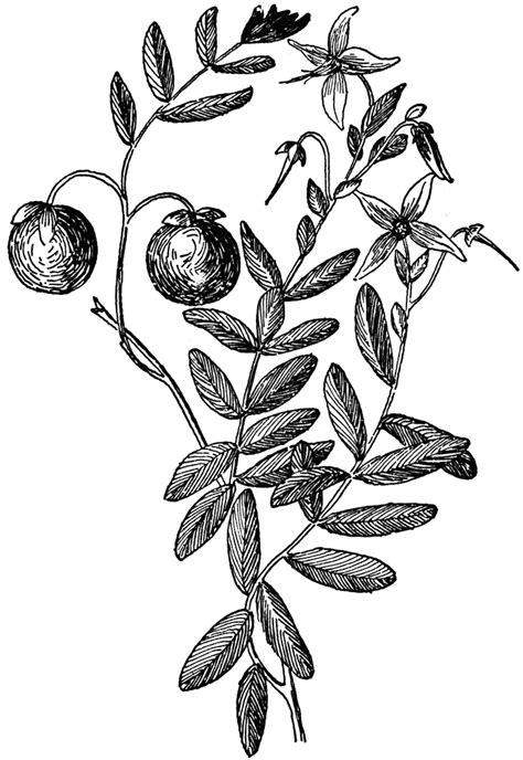 cranberry clipart