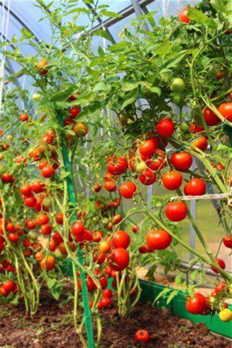 gurken und tomaten im gewächshaus gem 252 se im gew 228 chshaus anbauen gew 228 chshausplaza de