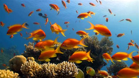 stock video clip  red fish  coral reef red sea