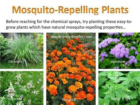 repel mosquitoes in yard mosquito repelling plants yard gardening pinterest