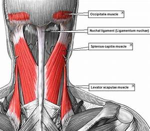 Posterior Neck Muscles