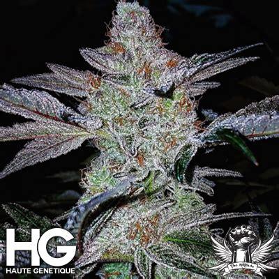 si鑒e haut raspberry dosido from haute genetique strains io cannabis marijuana strain info