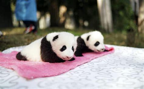 panda lovers calling zoo adelaide pet own