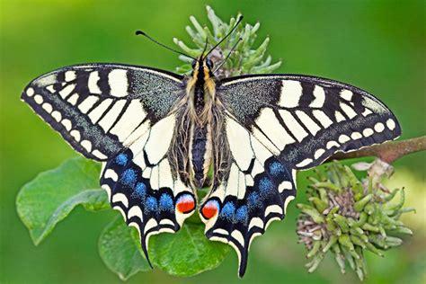 vlinder hoornradio hoorngids de nieuwsbron voor hoorn zwaag en blokker