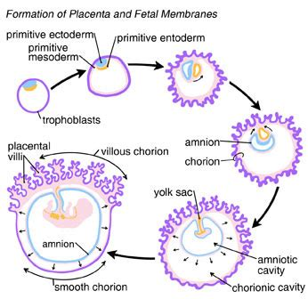 human embryonic development biologyisc