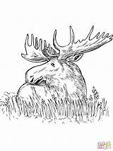 Moose Coloring Pages Grass Elk Printable Outline Head Sitting Drawing Template Snake King Templates Cobra sketch template
