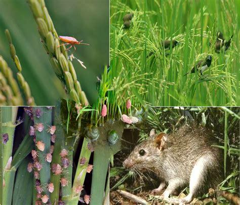 inilah jenis hama penyakit tanaman padi sawah