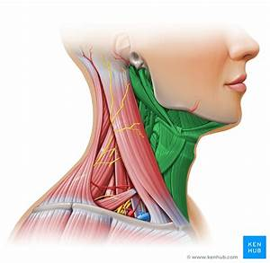 Cervical fascias: Superficial and deep fascial layers | Kenhub