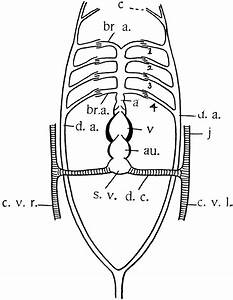 Teleost Heart