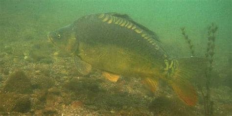 carpes du salagou observations sous la surface de leau