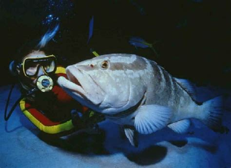 grouper nassau epinephelus wikipedia commons blacktip striatus wikimedia island math fish higher resolution environmental science cerf